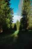 Árvores da clareira da floresta da mola da estação Fotos de Stock