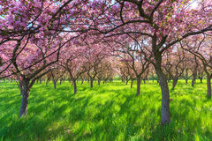 Árvores da flor da mola Imagem de Stock Royalty Free