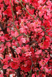 Árvores da flor da mola Foto de Stock Royalty Free