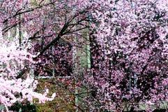 Árvores da flor de cerejeira fotos de stock royalty free