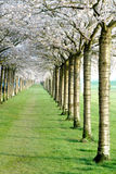 Árvores da flor de cerejeira Foto de Stock Royalty Free