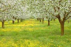 Árvores da flor de cerejeira da mola Imagem de Stock