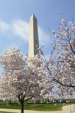 Árvores da flor de cerejeira da primavera contra o contexto de Washington Monument Imagem de Stock Royalty Free
