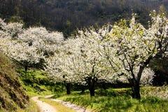 Árvores da flor de cerejeira e trajeto ventoso Imagens de Stock Royalty Free