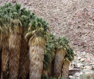 Árvores da garganta da palma, parque estadual do deserto de Anza Borrego Foto de Stock Royalty Free