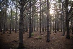 árvores da luz do sol da floresta imagens de stock