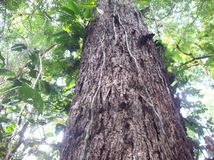 Árvores da madeira na selva peruana foto de stock royalty free