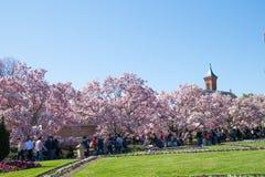 Árvores da magnólia que florescem em Washington, C.C. durante a primavera foto de stock