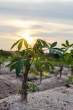 Árvores da mandioca Imagem de Stock