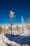 Árvores da neve da floresta foto de stock