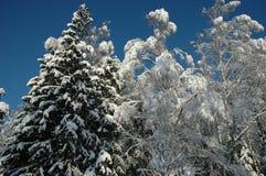 Árvores da neve no céu azul ensolarado Fotografia de Stock Royalty Free