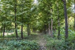 Árvores da nogueira-do-Japão Imagem de Stock Royalty Free