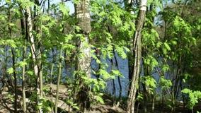 Árvores da paisagem da mola no lago video estoque