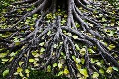 Árvores da raiz. Fotografia de Stock