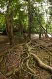 Árvores da raiz na floresta. foto de stock