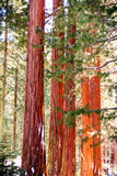 Árvores da sequoia Fotos de Stock Royalty Free