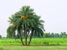 Árvores da tâmara Fotografia de Stock Royalty Free