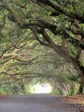 Árvores da vagem de macaco que cobrem uma rua na ilha grande de Havaí Fotos de Stock