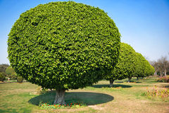 Árvores dadas forma esfera, Nova Deli Imagem de Stock