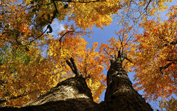 Árvores das cores completas Imagens de Stock