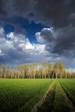 Árvores de álamo fotografia de stock royalty free