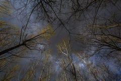 Árvores de álamo imagem de stock royalty free