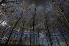 Árvores de álamo fotos de stock royalty free