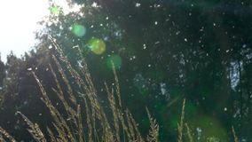 Árvores de álamo borradas no fundo Muito do fluff do álamo voa no ar filme