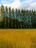 Árvores de álamo e um campo da grama dourada Imagens de Stock