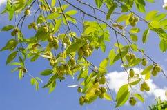 Árvores de Agarwood Imagens de Stock Royalty Free