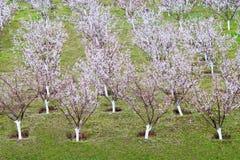 Árvores de alperce fotos de stock royalty free