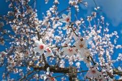 árvores de amêndoa de florescência fotos de stock