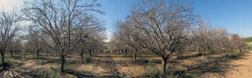 Árvores de amêndoa do inverno Imagem de Stock Royalty Free