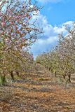 Árvores de amêndoa de florescência no campo foto de stock royalty free