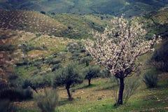 Árvores de amêndoa na flor Fotografia de Stock Royalty Free