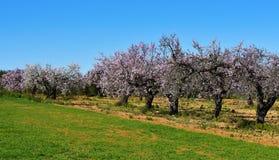 Árvores de amêndoa na flor completa Foto de Stock Royalty Free
