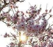 Árvores de amêndoa na flor contra a luz solar Foco seletivo imagem de stock