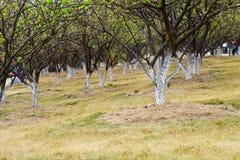 Árvores de ameixa Imagem de Stock Royalty Free