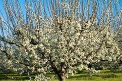 Árvores de ameixa na flor no pomar na mola Fotografia de Stock Royalty Free