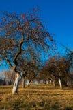 Árvores de Apple Imagem de Stock