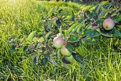 Árvores de Apple Imagem de Stock Royalty Free