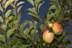 Árvores de Apple Imagens de Stock