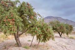 Árvores de Apple Foto de Stock Royalty Free