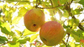 Árvores de Apple com maçãs vermelhas video estoque