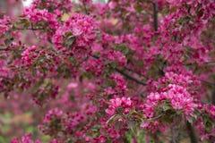 Árvores de Apple de florescência 02 Fotografia de Stock Royalty Free