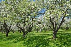 Árvores de Apple de florescência no jardim da mola fotografia de stock royalty free