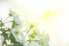 Árvores de Apple de florescência bonitas na mola em um dia ensolarado Imagens de Stock Royalty Free