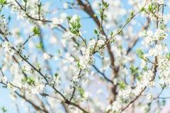 Árvores de Apple de florescência bonitas na mola em um dia ensolarado Fotos de Stock Royalty Free