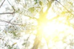 Árvores de Apple de florescência bonitas na mola em um dia ensolarado Imagens de Stock