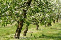 Árvores de Apple na flor imagens de stock royalty free